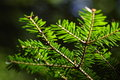 Free Pinetree Branches Royalty Free Stock Photography - 5903457