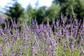 Free Close Up Of Lavender Field Royalty Free Stock Image - 5975766