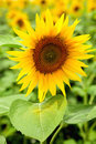 Free Sunflower With Pollen Royalty Free Stock Photo - 6049195