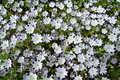 Nemophila flowers in bloom