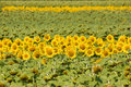 Free Field Of Sunflowers. Royalty Free Stock Image - 6139826
