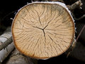 Free Tree Cross Section Stock Photo - 6188330