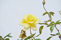 Free Yellow Rose Stock Photography - 62045282
