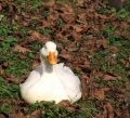Free Duck Royalty Free Stock Image - 638536