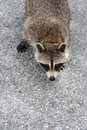 Free Florida Racoon Stock Photography - 6419252