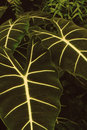 Free Large Leaf With Iridescent Veins Royalty Free Stock Image - 6432276