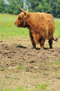 Free Highland Cow Royalty Free Stock Photos - 6486898