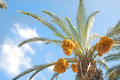 Free Date Palm Tree Stock Photography - 6620412