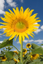 Free Amazing Sunflower Royalty Free Stock Photos - 6695338