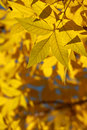 Free Orange Autumnal Leaves Stock Photo - 6722790