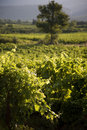 Free Vineyard Stock Photos - 6879313