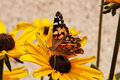 Free Painted Lady Vanessa Royalty Free Stock Images - 697209