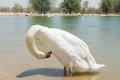 Free Amazing Beautiful Swan Cleans His Feather In The Lake Stock Photography - 71661432