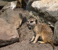 Free Meerkat Royalty Free Stock Photo - 749955