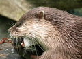 Free Otter Stock Image - 751831