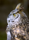 Free Great Horned Owl (Bubo Virginianus) Looks Up Royalty Free Stock Photography - 771167