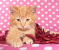 Free Yellow Kitten And Pink Polka Dots Royalty Free Stock Images - 7725959