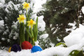 Free Easter Eggs And Narcissus In The Snow Stock Photography - 7981002
