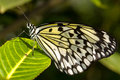Free Tree Nymph Butterfly (Idea Leuconoe) Royalty Free Stock Photography - 8029037