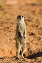 Free Suricate Stock Photo - 8094320