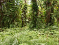 Free Fern Forest Royalty Free Stock Photography - 8177017