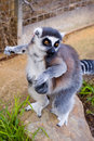 Free Cheeky Lemur Stock Images - 822094