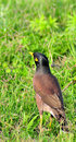 Free Common Myna Royalty Free Stock Photos - 8481128