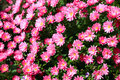 Free Rosy Flowers Stock Images - 8583334