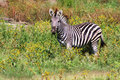 Free Plains Zebra Stock Images - 8632564