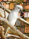 Free Goffin S Cockatoo (Cacatua Goffini) Royalty Free Stock Images - 8732639