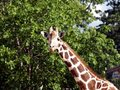 Free Giraffe Royalty Free Stock Images - 885019