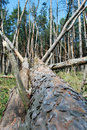 Free Felled Pine Stock Image - 9036551