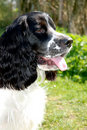 Free Young English Springer Spaniel Royalty Free Stock Images - 9057799