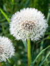 Free Dandelion, Spring Flower Royalty Free Stock Photo - 9202115