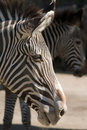 Free Zebra Stock Photos - 9353143