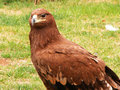 Free GOLDEN EAGLE Stock Photos - 9363943
