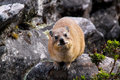 Free Dassie 2 Stock Photography - 9394152