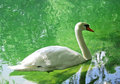 Free A Swan Stock Photography - 9398512
