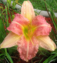 Free Day Lily After The Rain Stock Images - 945304