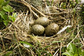 Free Nest With Eggs Stock Image - 9400951