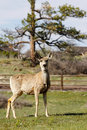 Free Mule Deer On Country Property Royalty Free Stock Image - 9408546