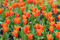 Free Orange Tulips Royalty Free Stock Photo - 9457015