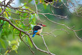 Free Brown-Hooded Kingfisher (Halcyon Albiventris) Stock Photography - 9512852