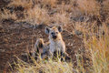 Free Young Spotted Hyaena (Crocuta Crocuta) Royalty Free Stock Photos - 9557378