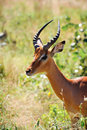 Free Impala Male (Aepyceros Melampus) Royalty Free Stock Photography - 9667897