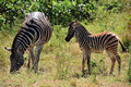 Free Zebra With Cub (Equus Burchellii) Stock Photography - 9668032