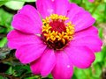 Free Zinnia -4 Royalty Free Stock Photos - 977858