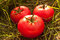 Free Tomatoes On The Grass Stock Photography - 9973882