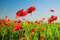 Free Poppies In Field Stock Photos - 9975233