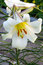 Free White Lily Stock Photos - 9979803